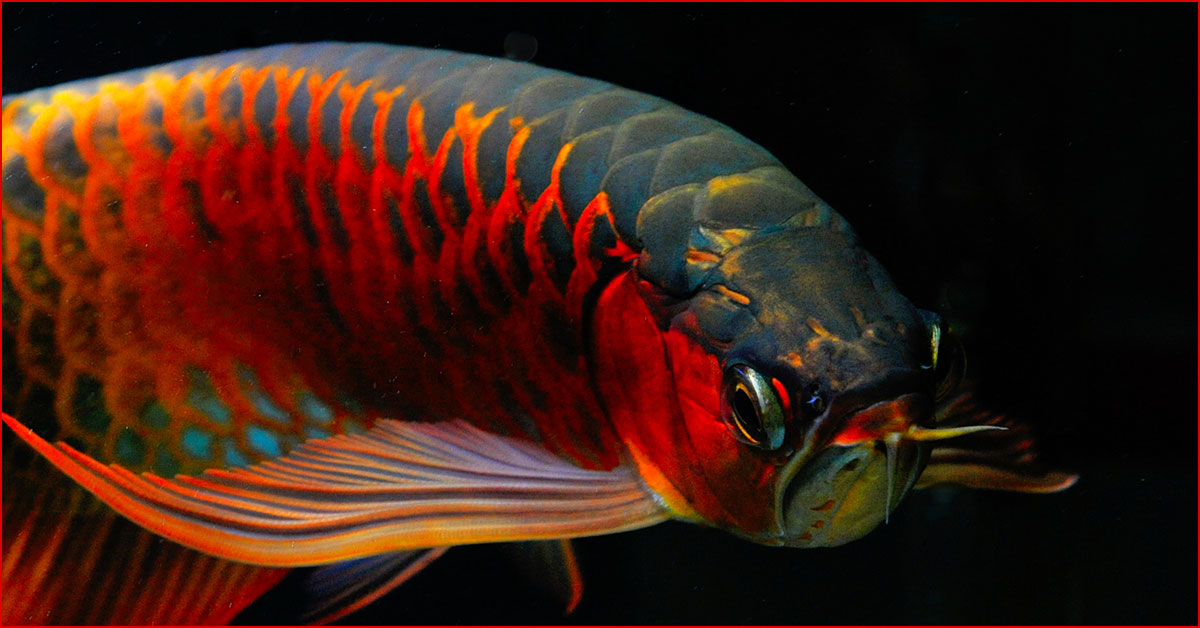 World Arowana Competition